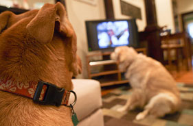 Two dogs watching TV