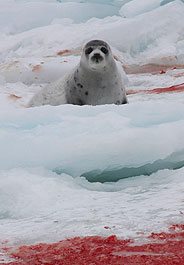 Baby seal on bloody ice in Canada