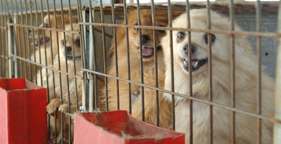 Pomeranian dogs at N.C. puppy mill