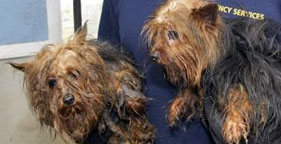 Two Yorkies rescued from Arkansas puppy mill