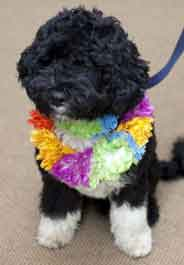 Obama puppy, a Portuguese water dog