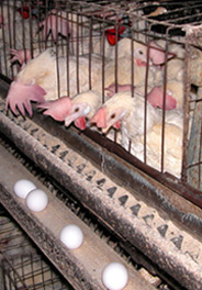 Egg-laying hens in battery cage