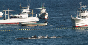 Fishermen corral dolphins for slaughter in Taiji, Japan