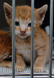 Yellow tabby kitten at shelter