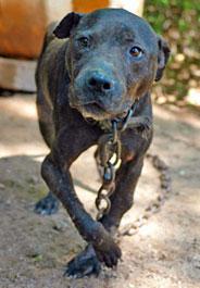 Injured pit bull at Alabama dogfighting raid