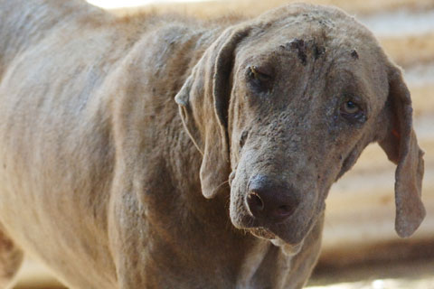 Scarred dog in Hawaii