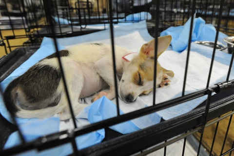 Dog rescued from Texas puppy mill sleeps at temporary shelter