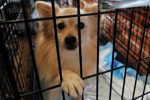 Dog rescued from Texas puppy mill relaxes at temporary shelter