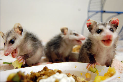 Opossum babies enjoy a meal at SPCA Wildlife Care Center