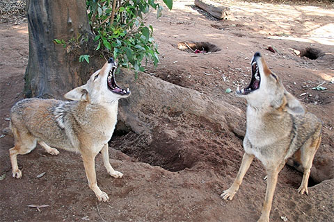 Coyotes howl at The Fund for Animals Wildlife Center