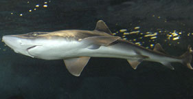 Smooth dogfish shark