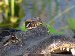 Python_alligator
