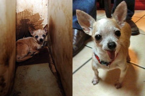Tillie, Chihuahua rescued from Kaufman County, Texas puppy mill