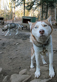 One of nearly 100 neglected sled dogs rescued in Quebec
