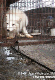 Fox in cage on fur farm