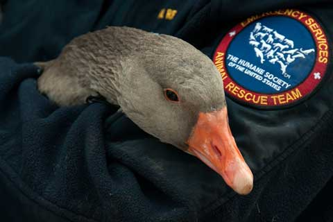 Goose rescued from Waltonsburg, N.C. property by The Humane Society of the United States and Greene County Animal Control