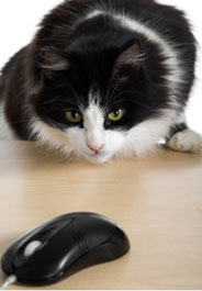 Cat staring at computer mouse