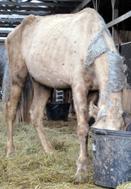 One of 84 neglected horses rescued in Cannon County, Tennessee on Nov. 24