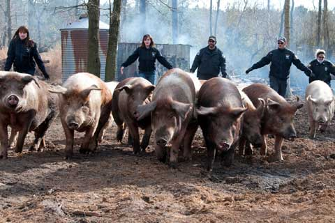 Pigs rescued from Waltonsburg, N.C. property by The Humane Society of the United States and Greene County Animal Control