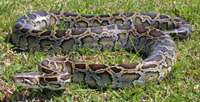 Burmese python in Florida's Everglades National Park