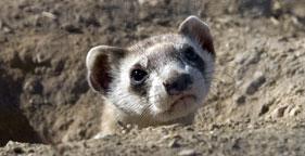 Endangered black-footed ferret