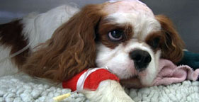 A suffering Cavalier King Charles Spaniel in the BBC documentary Pedigree Dogs Exposed