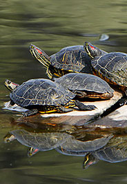 Red-eared slider turtles in a California pond