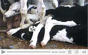 See footage from The HSUS investigation of Bushway Packing in Vermont