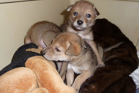 Coyote puppies at Fund for Animals Wildlife Center