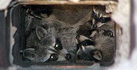 Humane Wildlife Services humanely removed this raccoon mother and her babies from a chimney flue