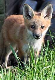 Baby fox in grass