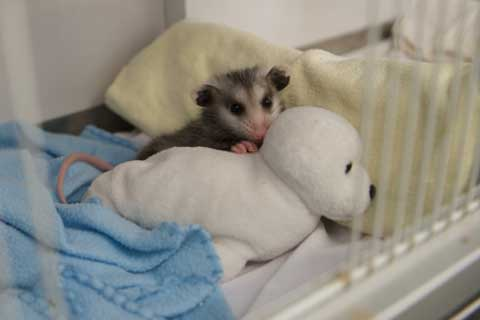 Baby opposum at SPCA Wildlife Care Center