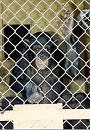 Ask the Department of Health and Human Services to give 202 chimps the retirement they deserve