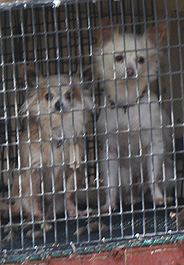 Dogs in a Missouri puppy mill