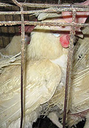 Caged hen at an Iowa egg factory farm