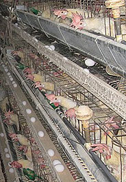 Egg-laying hens confined in battery cages at Iowa egg factory farm