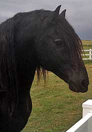 Friesian horse at Louis Dorfman's ranch