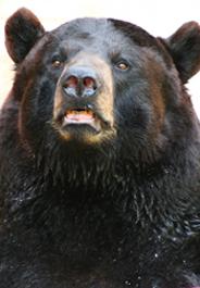184x265_bear_black_sxc