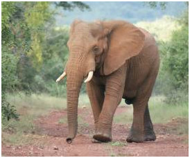 Elephant enjoys his freedom at SanWild