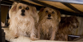 Two of the 80 dogs rescued from a hoarding situation