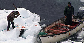 A seal is killed on day one of Canada's 2010 commercial seal slaughter