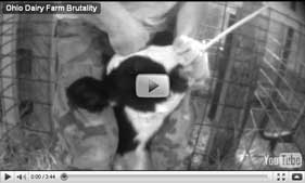 Mercy for Animals investigation of Ohio dairy farm