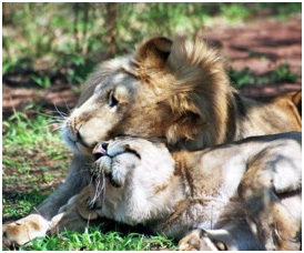 Rescued lions play at SanWild