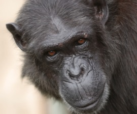 270x224_Chimp_Looking_iStock