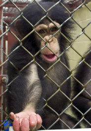Young chimpanzee at New Iberia Research Center
