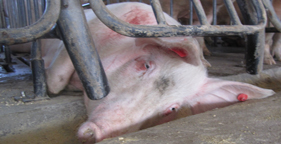 Pig confined to gestation crate at Smithfield subsidiary