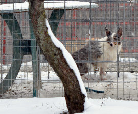 Missouri puppy mill dog