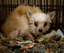 Dog before being rescued from a puppy mill