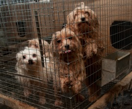 Puppy mill dogs