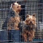 Dogs at a Missouri puppy mill in 2010